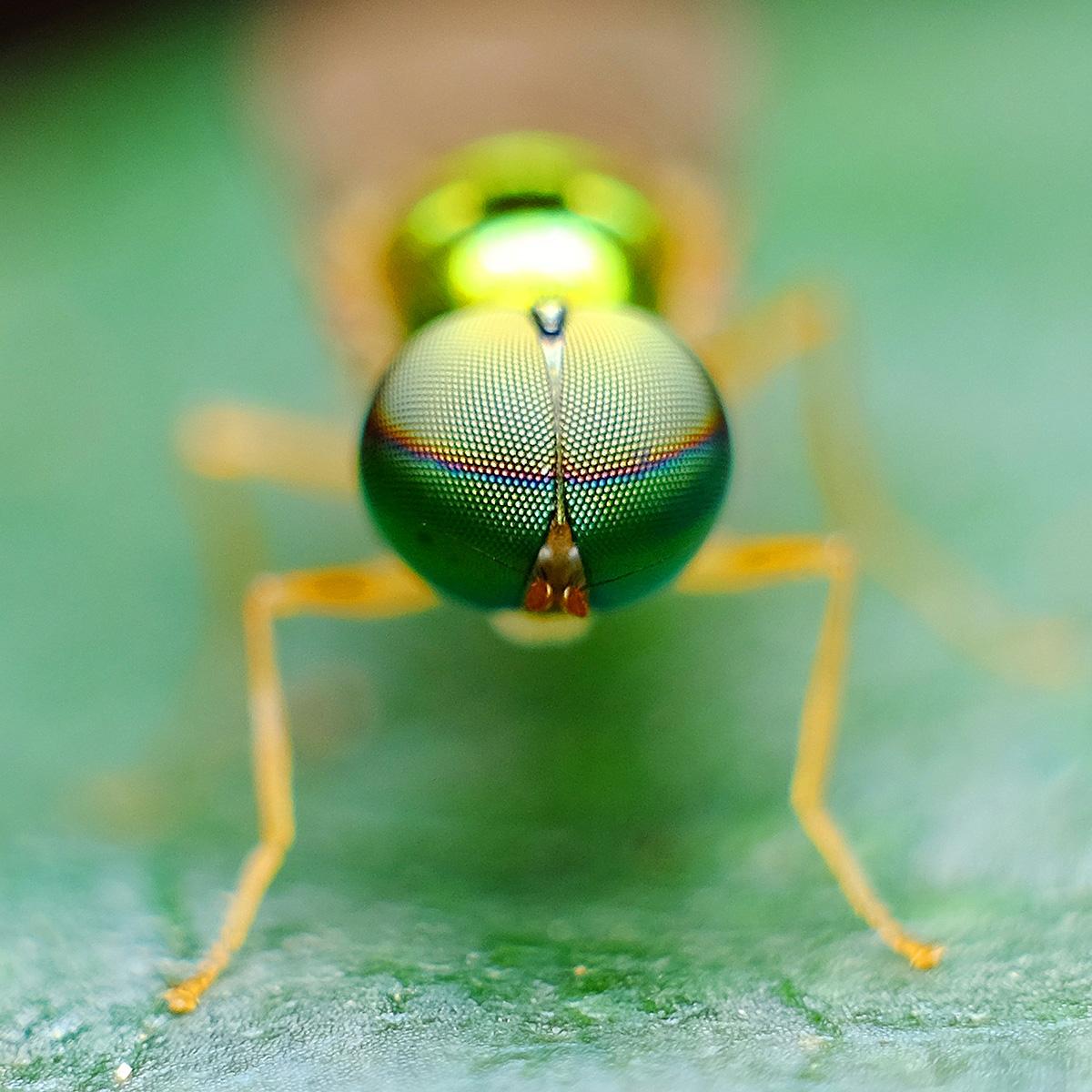 libelle | proinsekt